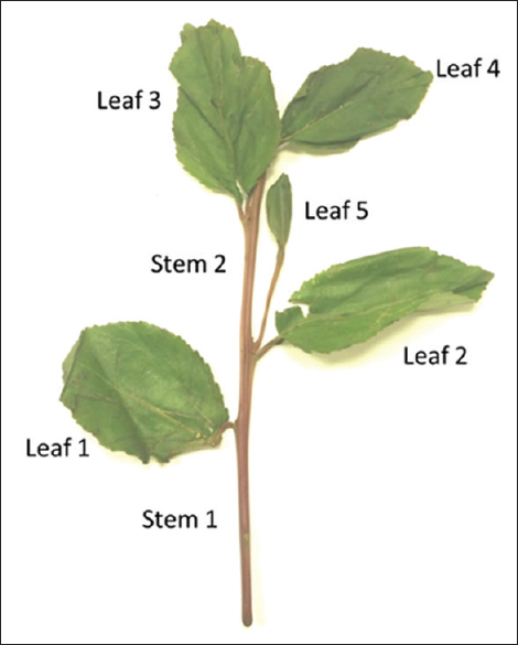 Figure 1: Catha edulis fresh sample